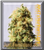 AK Lights Just Feminized Mix & Match Seeds
